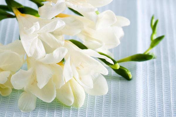 1月の花フリージア